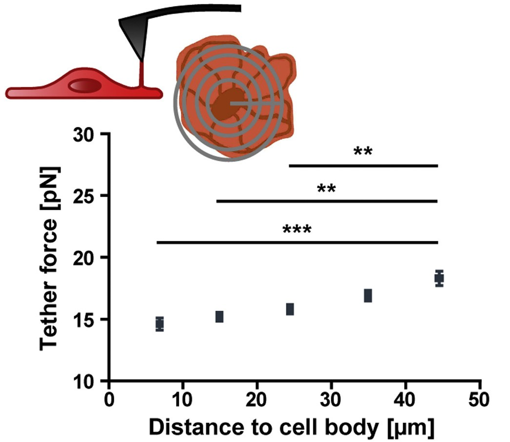 Afm edinburgh research to measure surface tension in oligodendrocytes we used afm to pull membrane tubes tethers in a vertical direction at different pooptronica